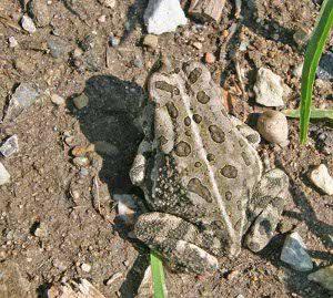 Fowlers Toads