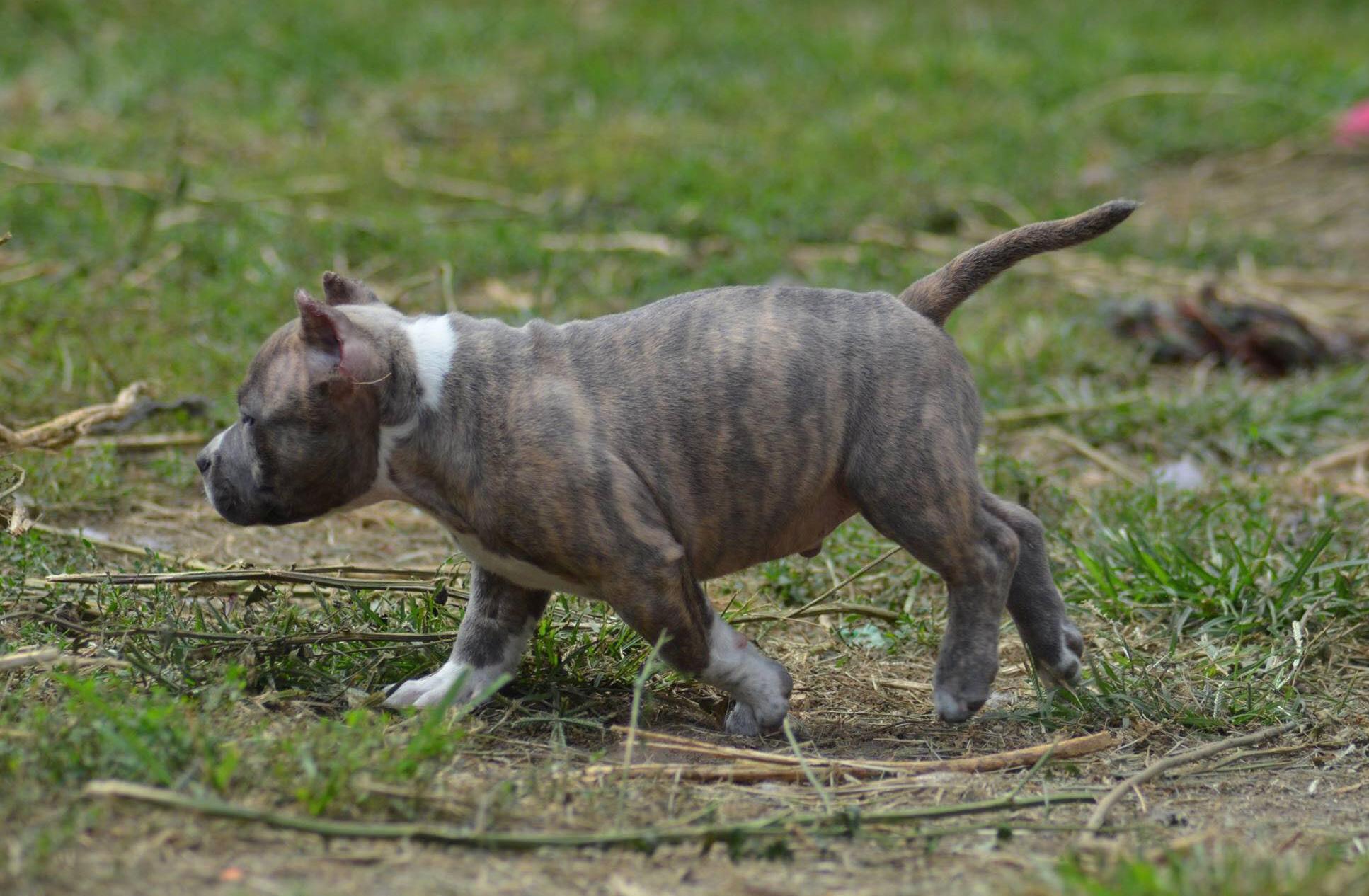 Protection Dog Decoy Training